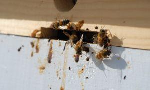 Чем можно лечить пчел