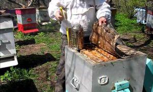 Размножение пчелиных семей по ускоренному методу