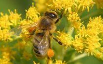 Пыльца обножка  — как противоаллергическое средство