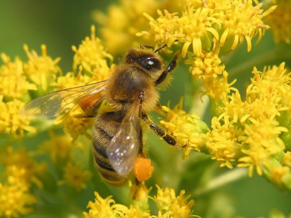 Пыльца обножка