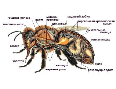 Органы обоняния и осязания пчел